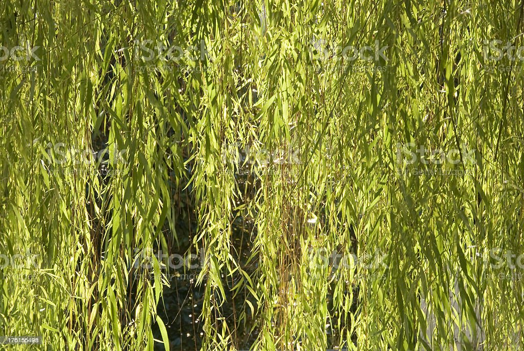 Luminescent Willow Leaves royalty-free stock photo