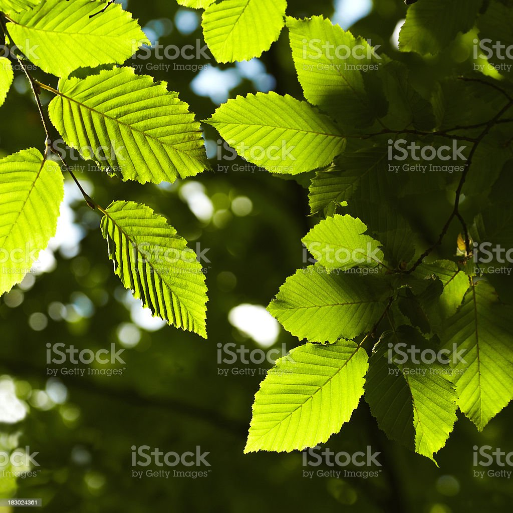 luminous leaves royalty-free stock photo