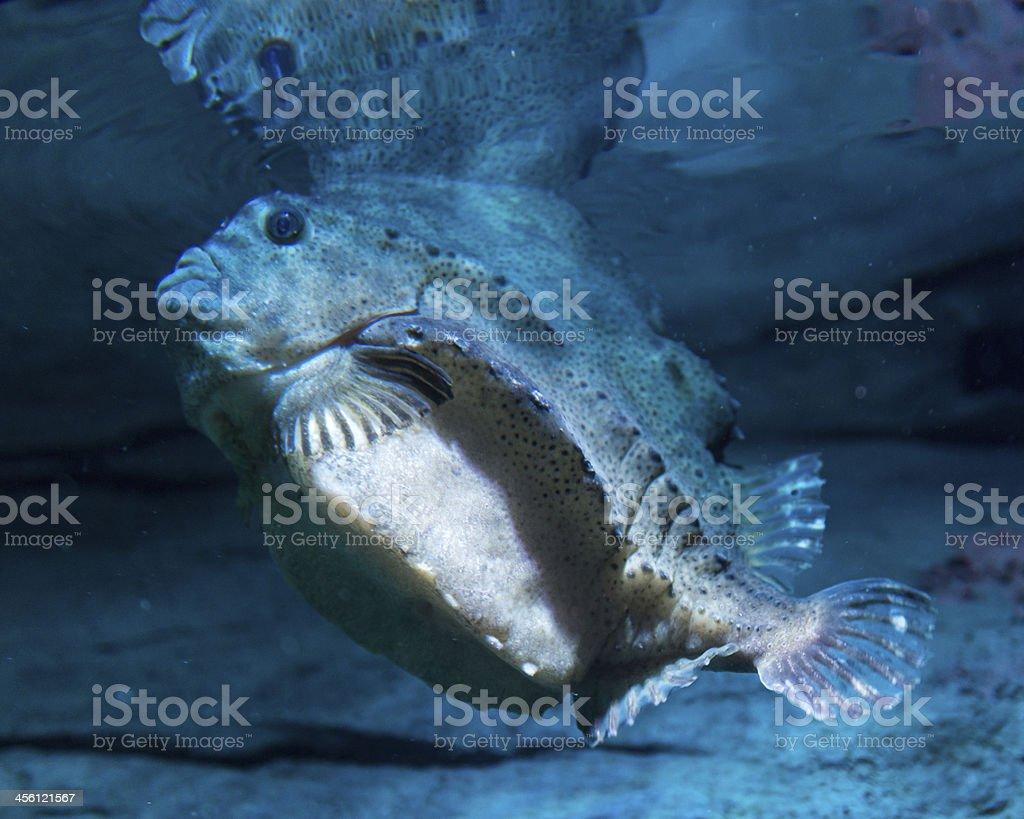 Lumpfish stock photo