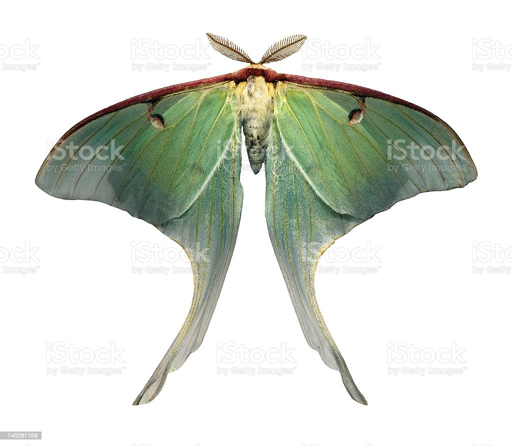 Luna Moth is a rare and beautiful sight royalty-free stock photo