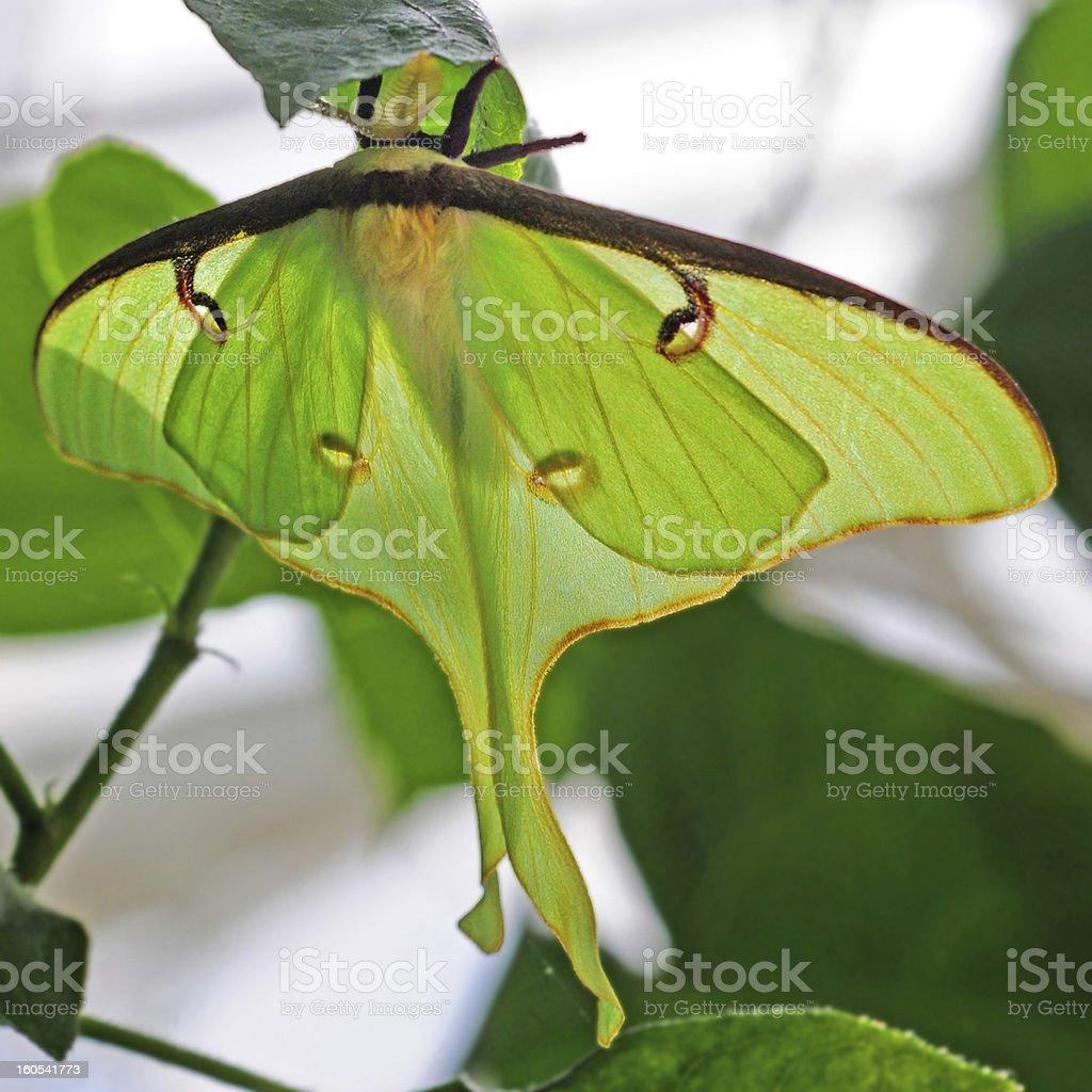 luna moth royalty-free stock photo