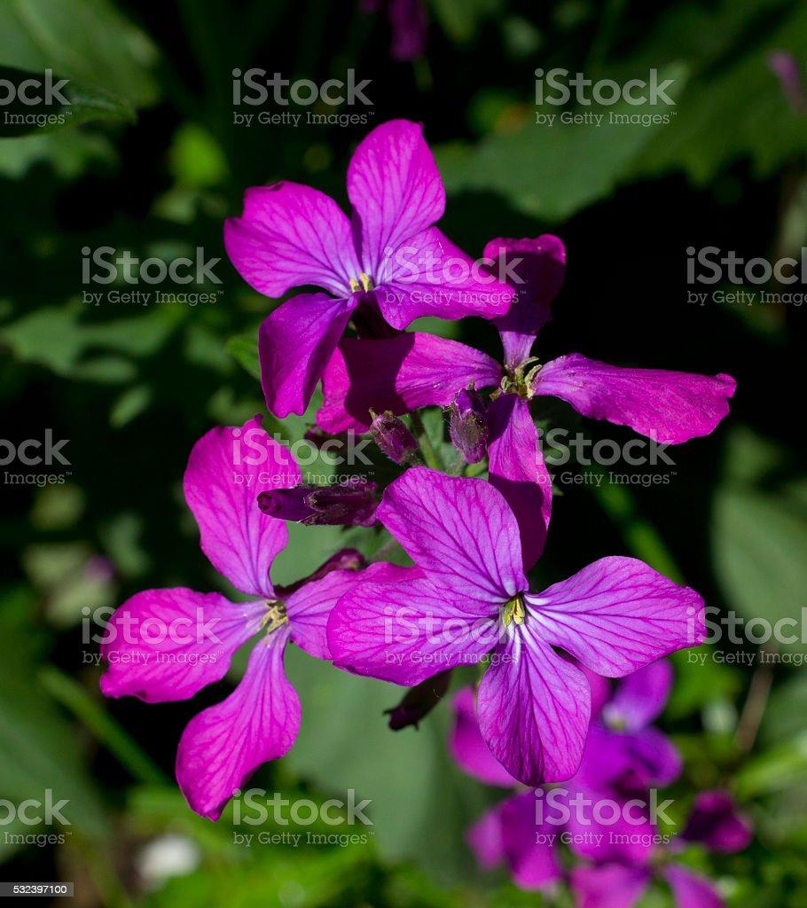 Lunaria rediviva stock photo
