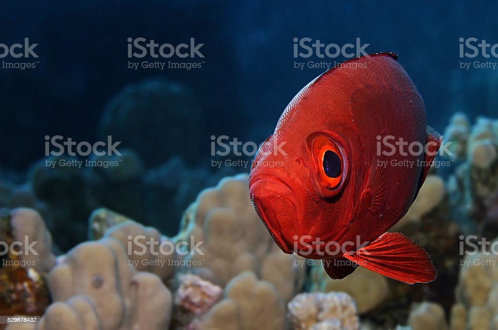lunar-tailed bigeye stock photo