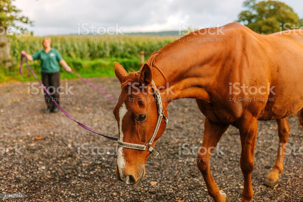 Lunging a recovering horse stock photo