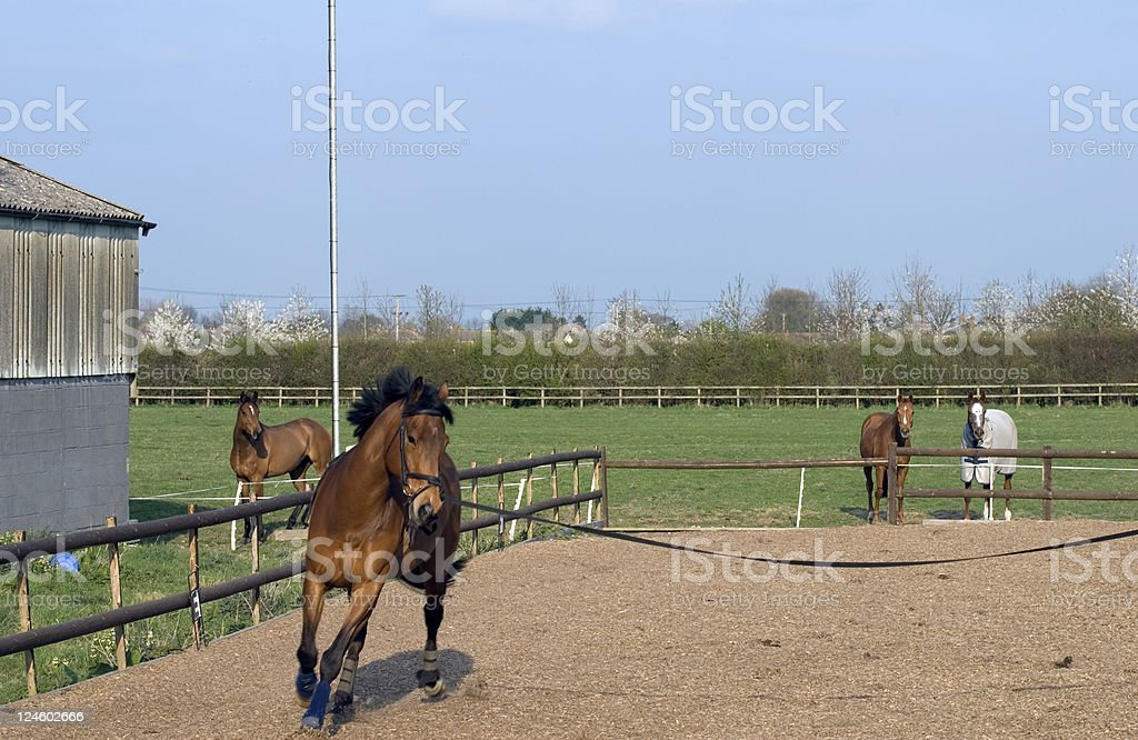 Lunging young horse stock photo