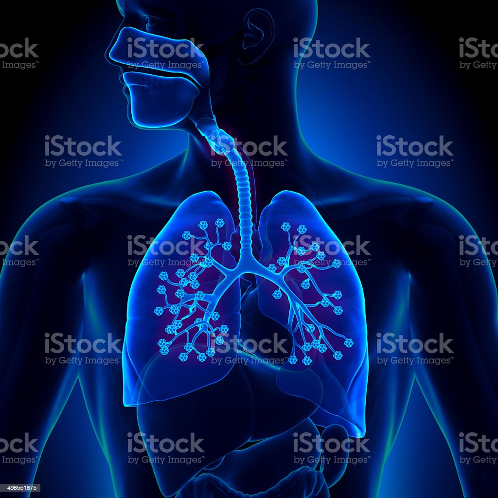 Lungs Anatomy - with detailed Alveoli stock photo