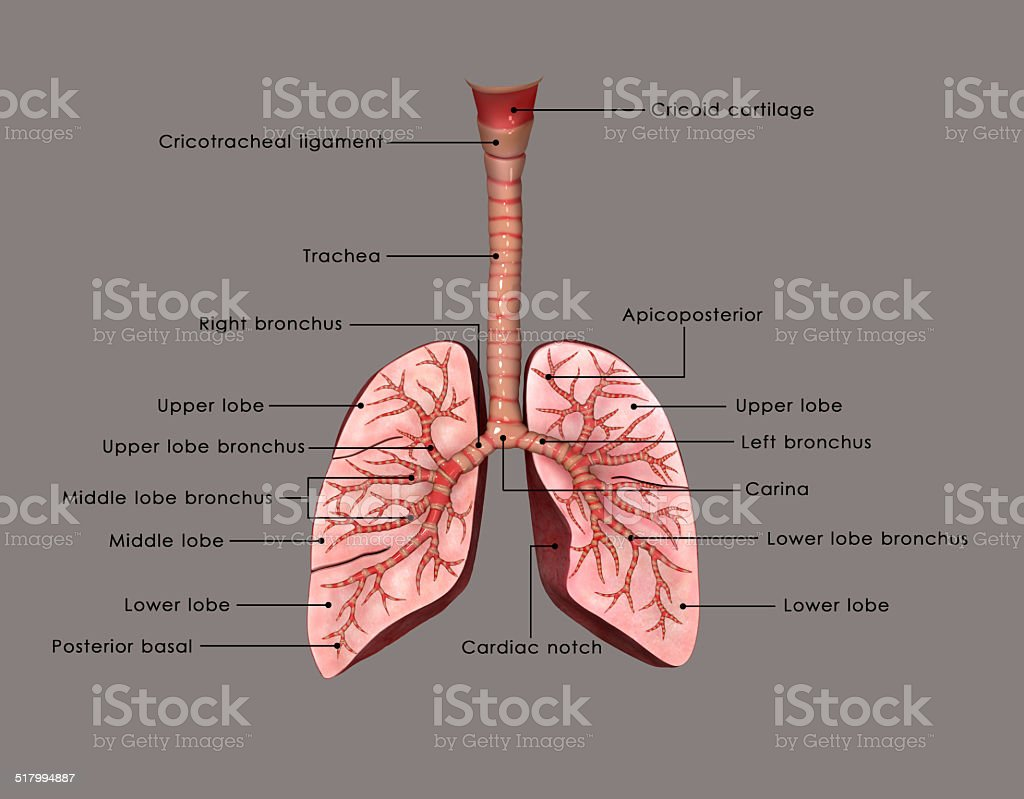 Lungs_labelled stock photo