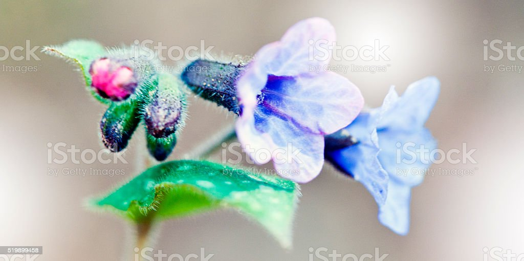 Lungwort (Pulmonaria officinalis) stock photo