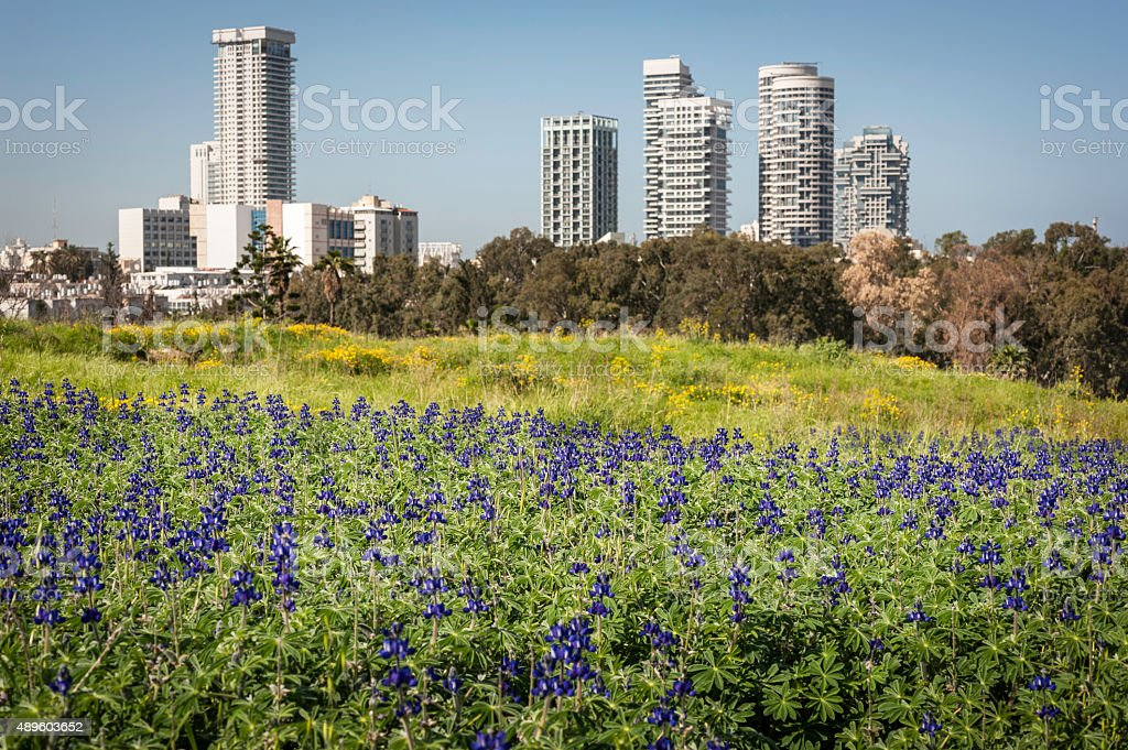 Lupin Field in the City stock photo