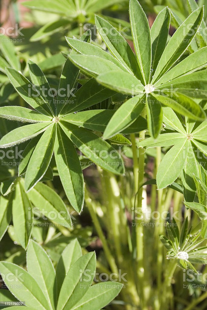 Lupin leaves royalty-free stock photo