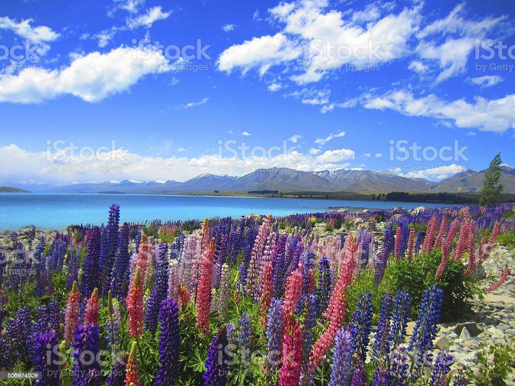 Lupinen Meer am Lake Tekapo stock photo