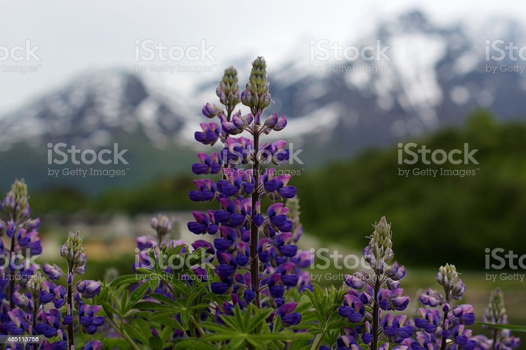 Lupine and Mountains stock photo