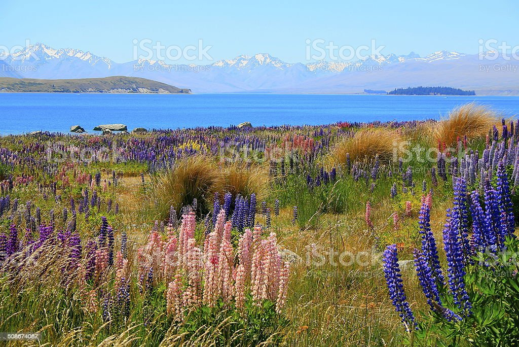 Lupine field, Lake Tekapo, New Zealand South Island stock photo