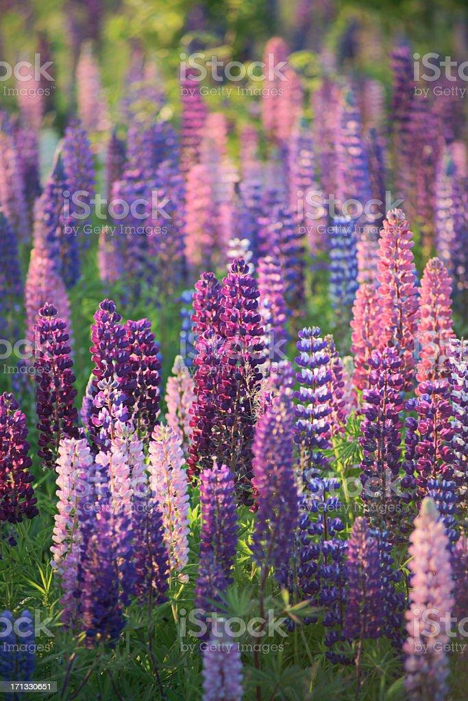 Lupine field. stock photo