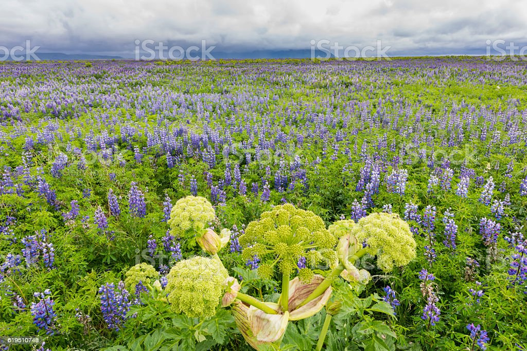 Lupine Field with hogweed  and Mountains at Vik stock photo