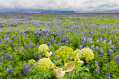 Lupine Field with hogweed  and Mountains at Vik