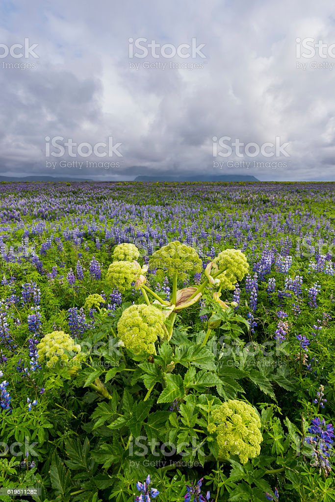 Lupine Field with Hogweed   at Vik stock photo