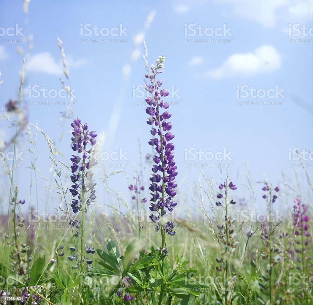 Lupine flower closeup in a field. stock photo