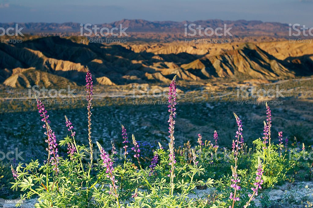 Lupine flowers at sunset stock photo