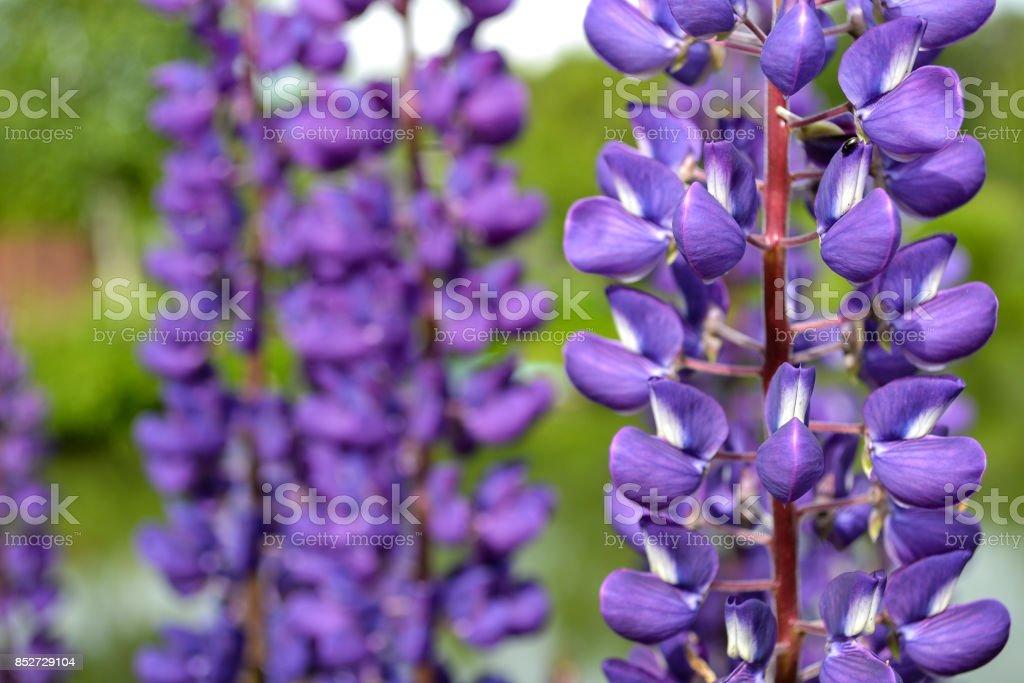lupine flowers purple close-up stock photo