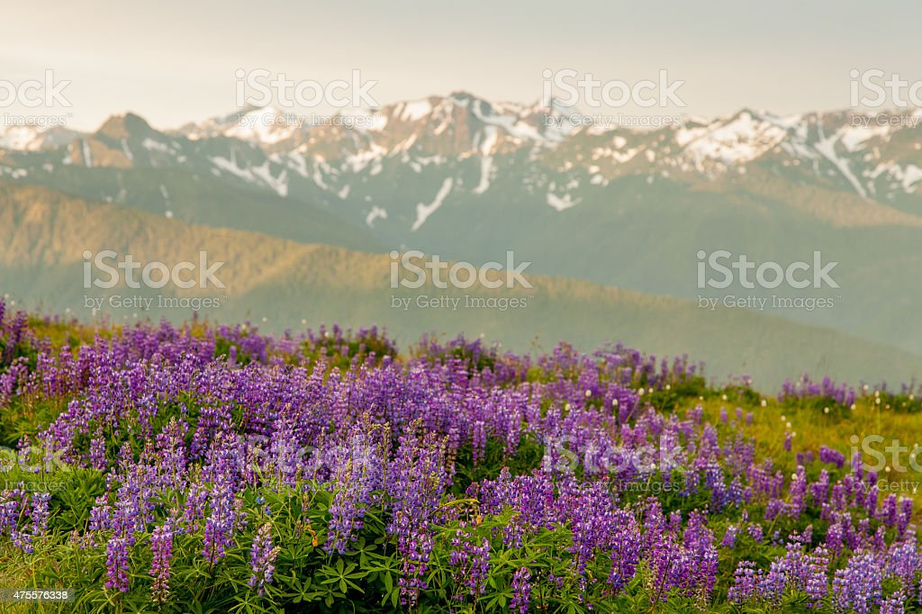 Lupine Landscape stock photo