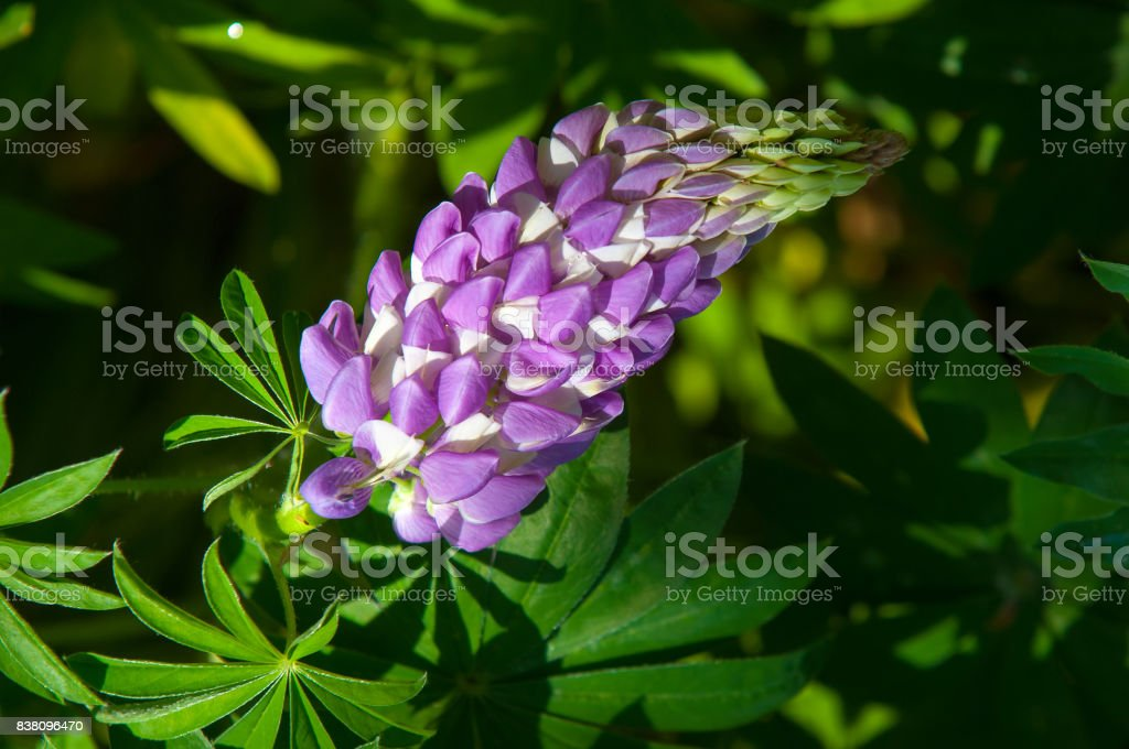 lupine, lupin stock photo