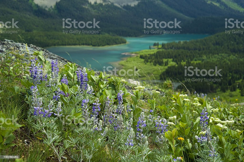Lupine on Hillside with Lake Glacier National Park Montana royalty-free stock photo