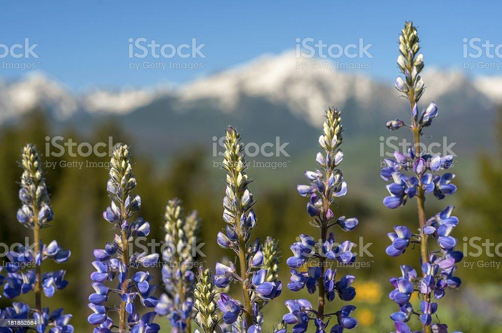 Lupine stock photo