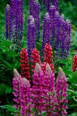 Lupine Plants in Full Bloom
