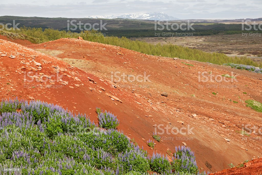 Lupines in the Geysir area stock photo