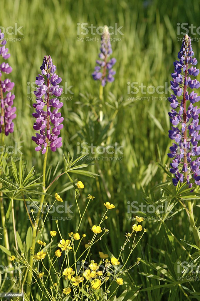 Lupins and Winter Aconites stock photo