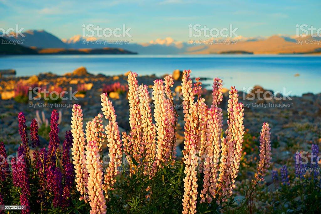 Lupins At Lake Tekapo, New Zealand stock photo