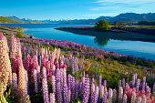 Lupins At Lake Tekapo