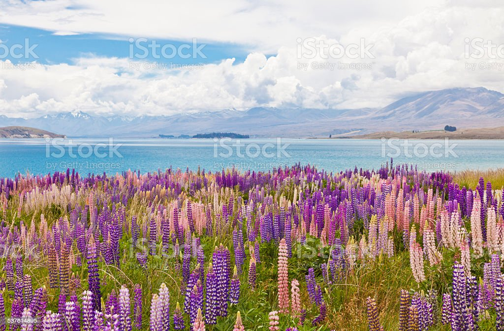 Lupins At Lake Tekapo stock photo