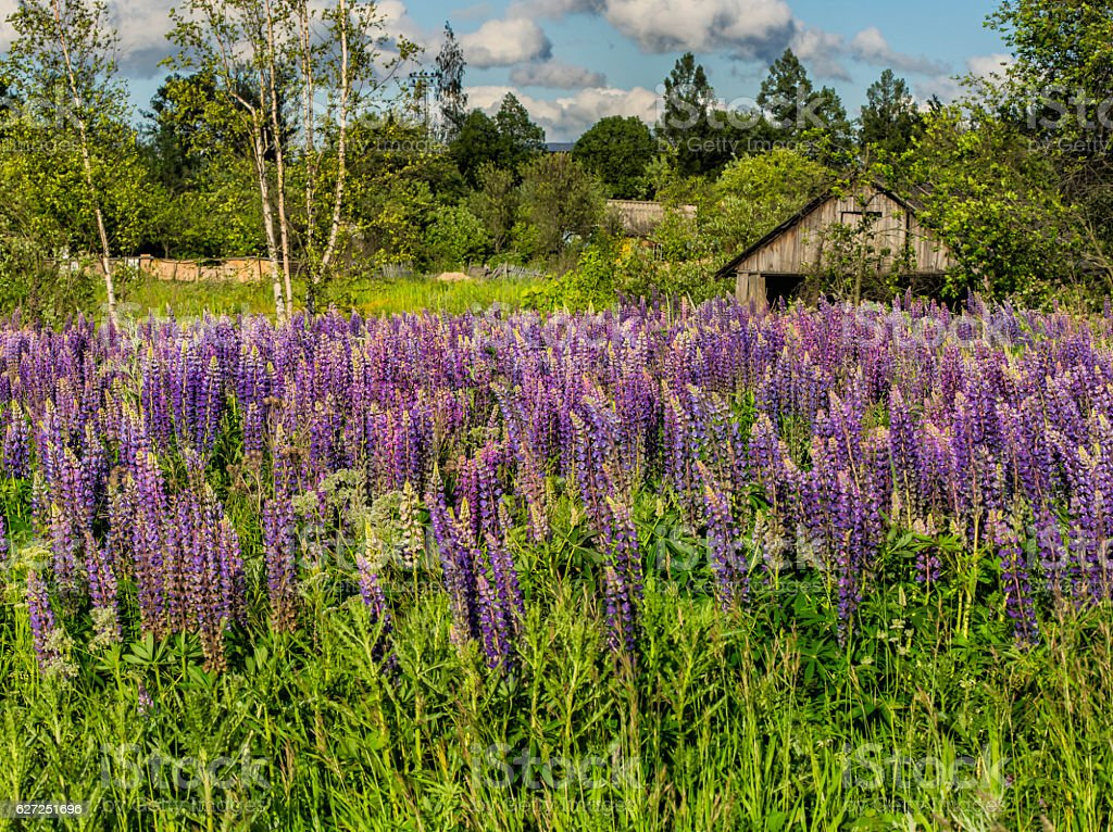 Lupins blooming stock photo