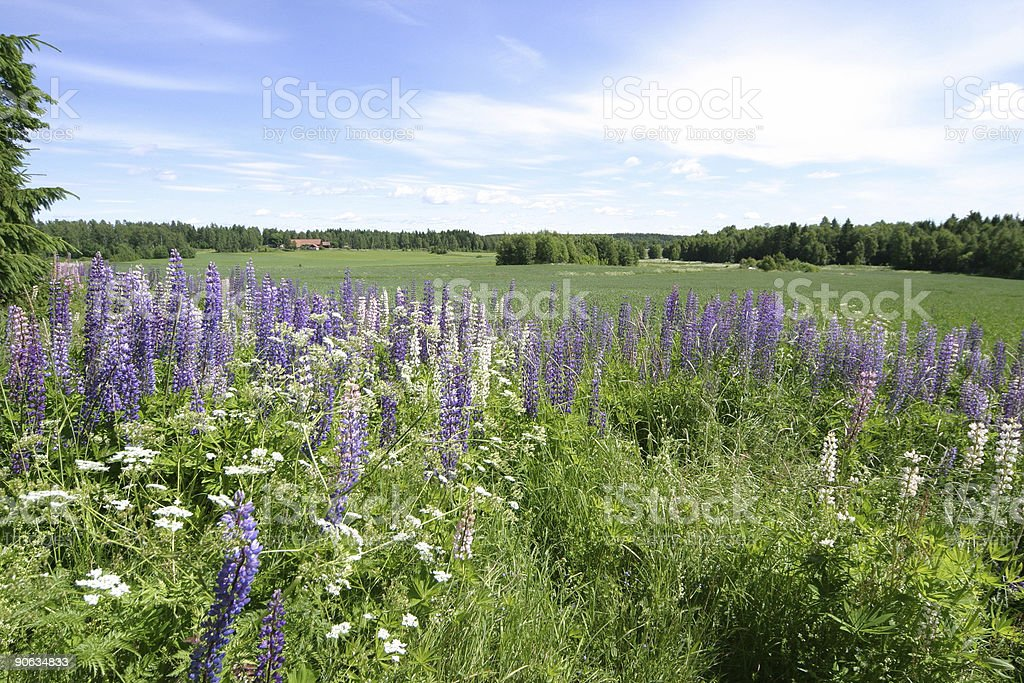 Lupins in landscape royalty-free stock photo