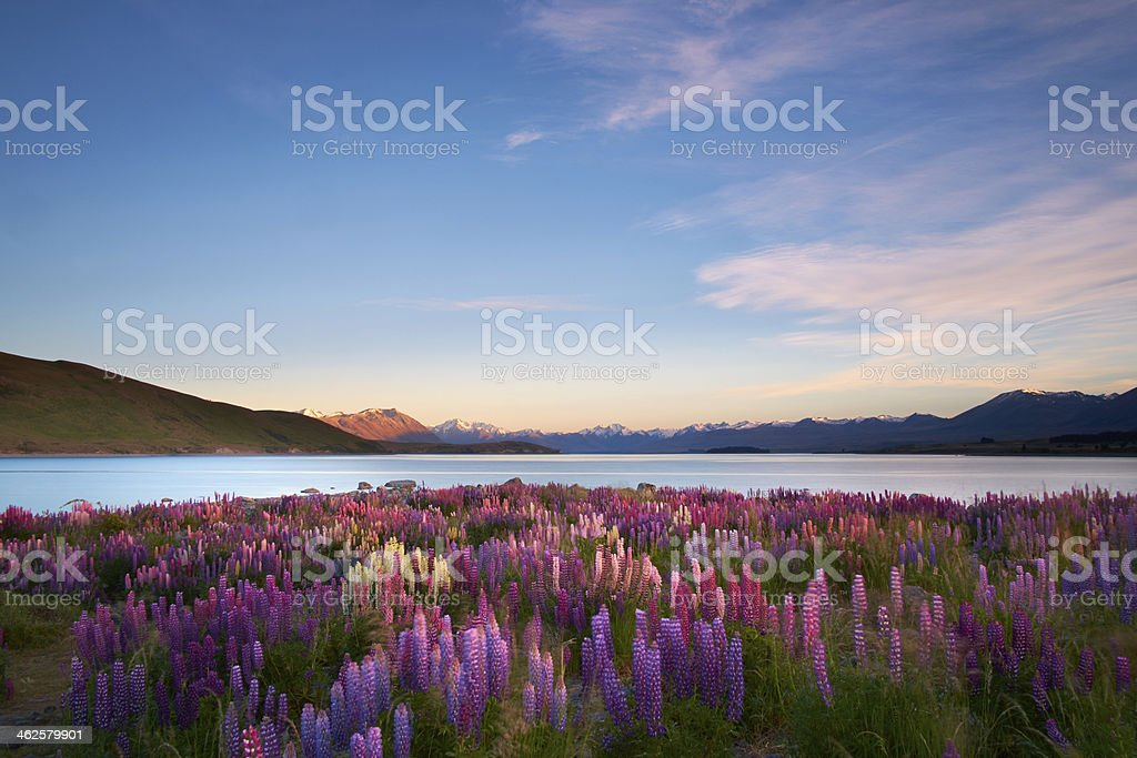 Lupins Of Lake Tekapo stock photo