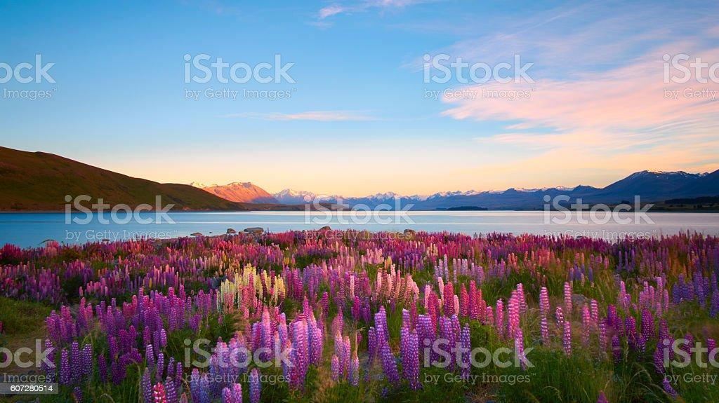 Lupins Of Lake Tekapo stock photo