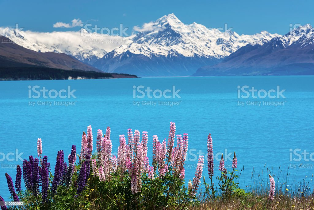 Lupins on the shore of Mt.Cook, New Zealand stock photo