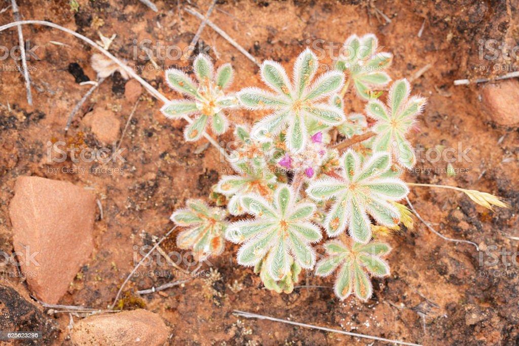 Lupinus arizonicus Wildflower Fabaceae Plant stock photo