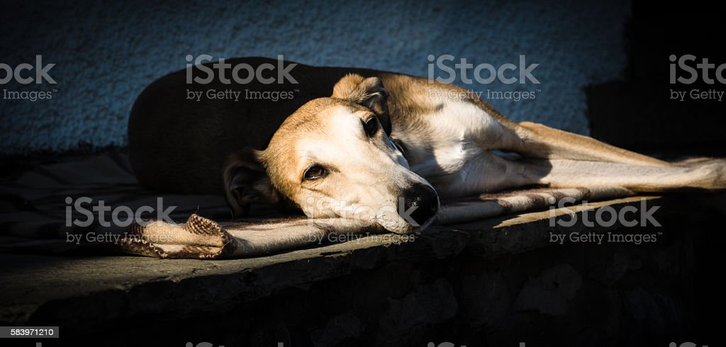 Lurcher at rest stock photo