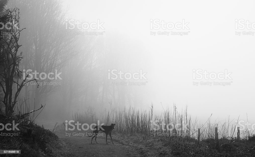 Lurcher in the fog stock photo