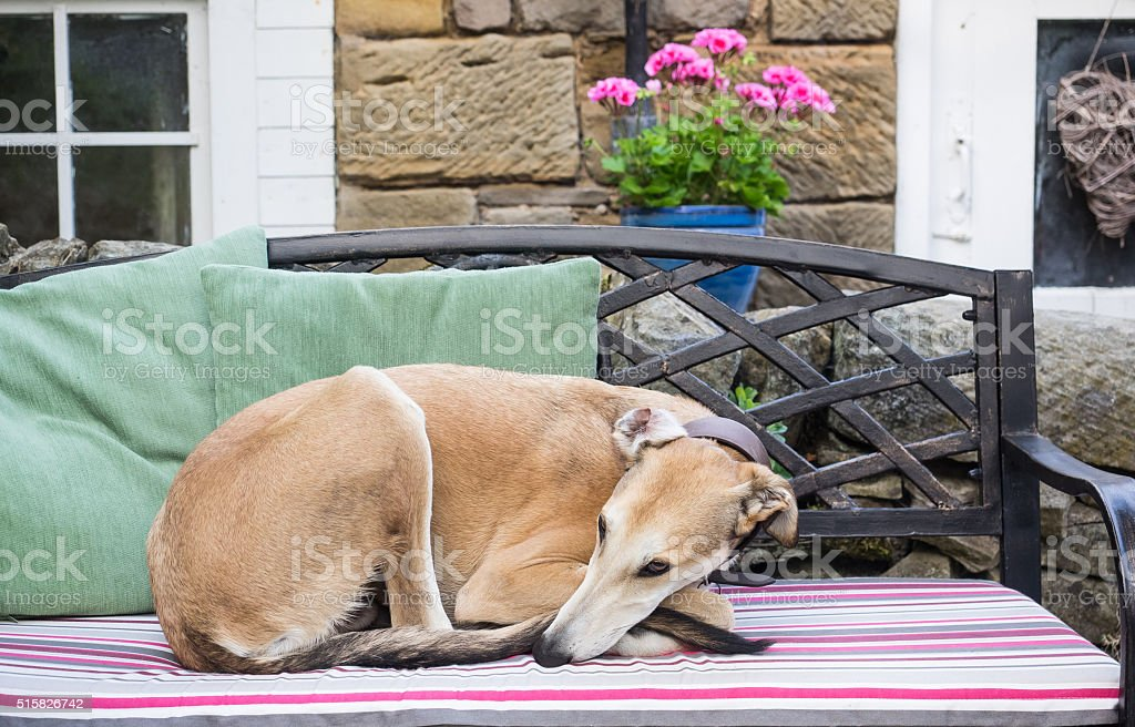 Lurcher in the Garden stock photo