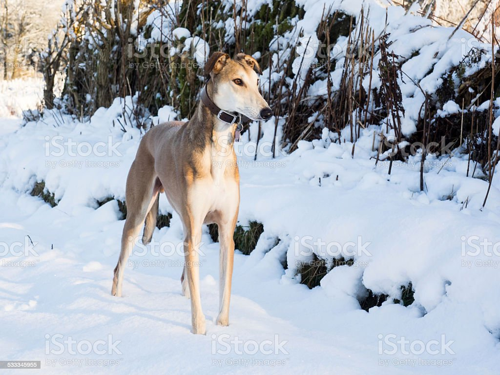 Lurcher in the snow stock photo