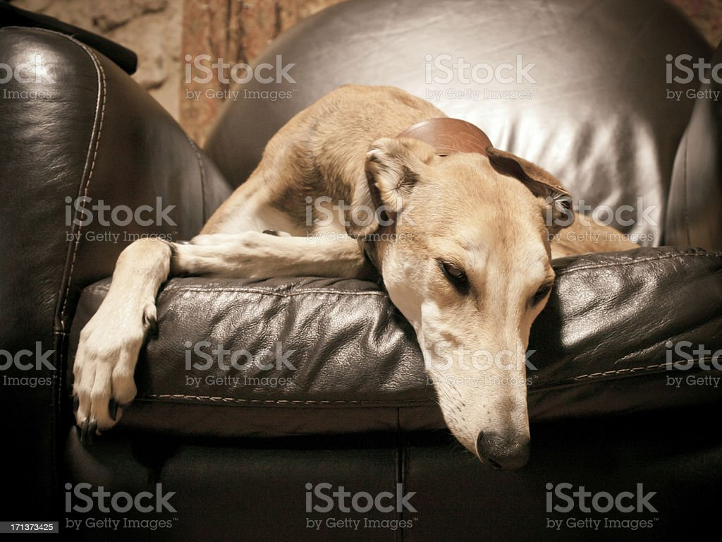 Lurcher stock photo