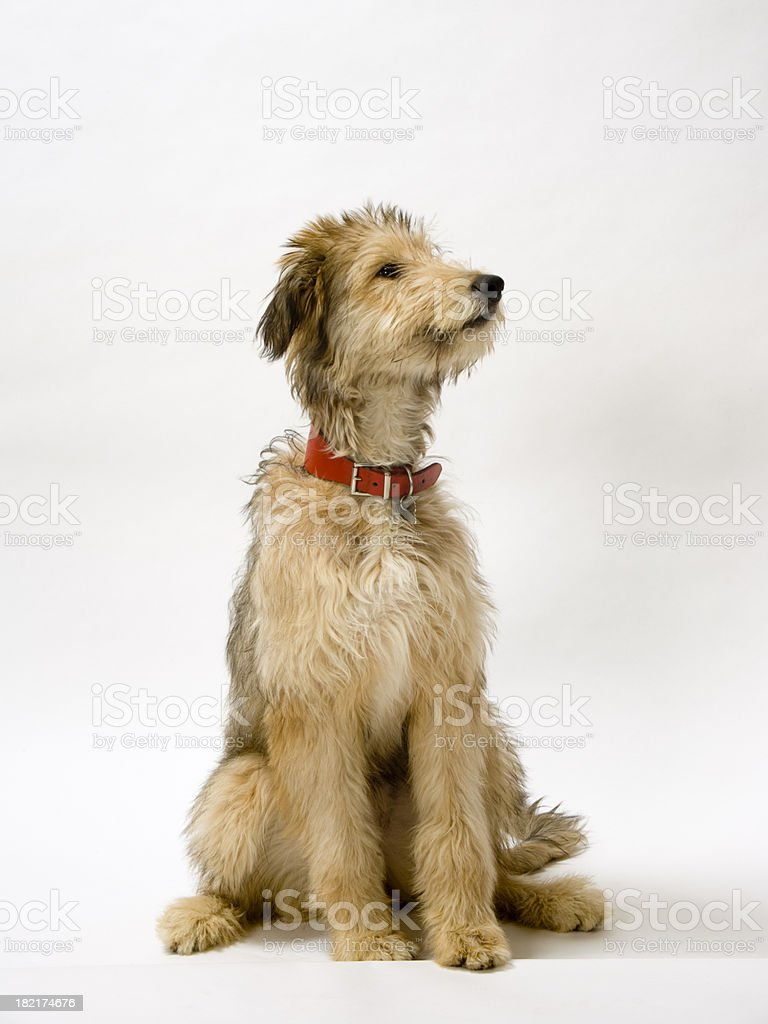 Lurcher pup royalty-free stock photo