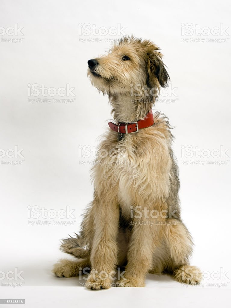 Lurcher pup stock photo