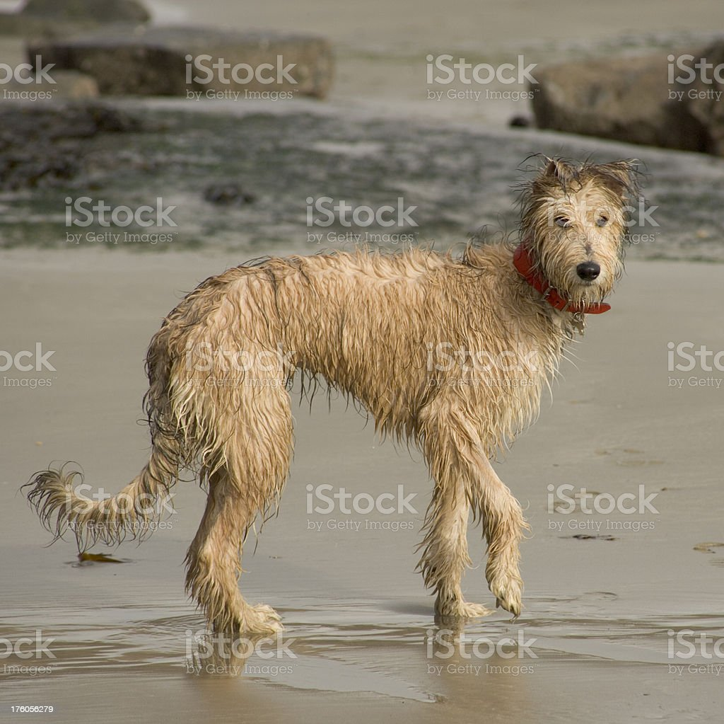 Lurcher puppy on beach stock photo