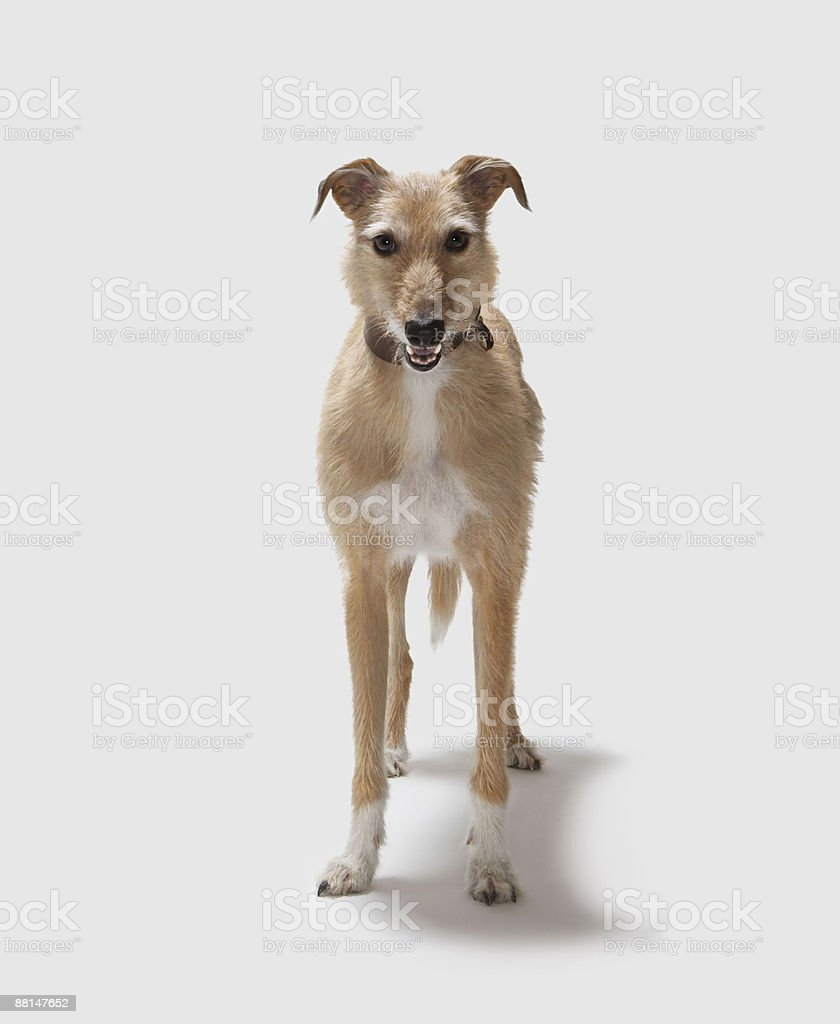 Lurcher straight on stock photo