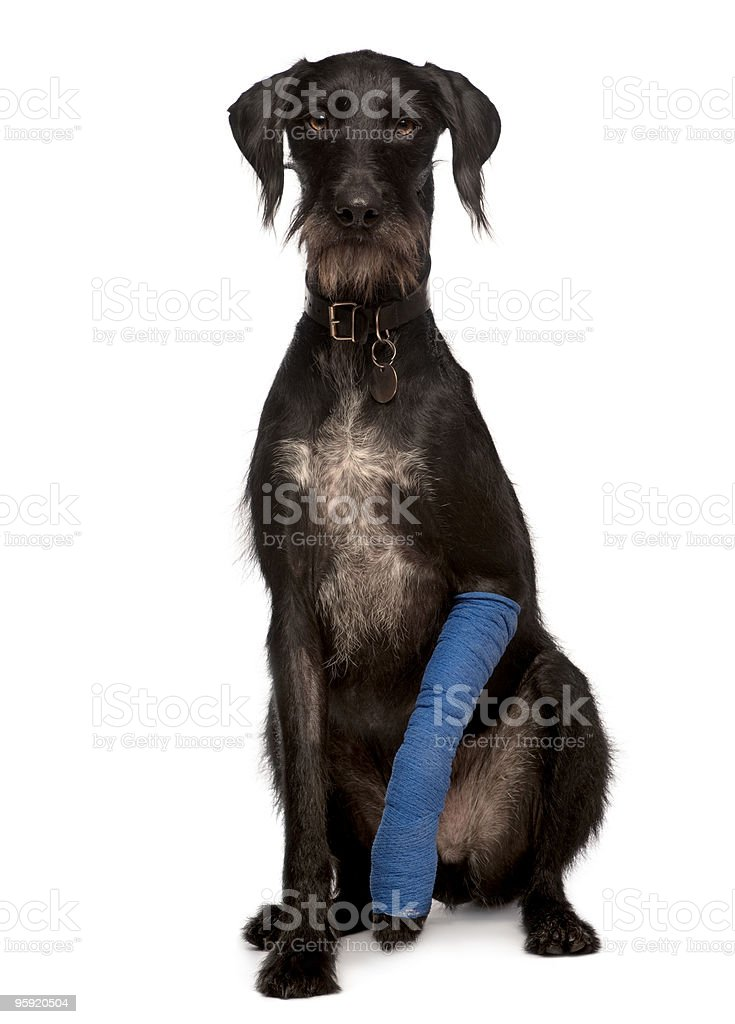 Lurcher with arm cast sitting in front of white background stock photo